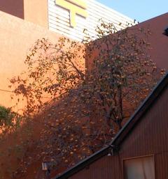 柿の木2016