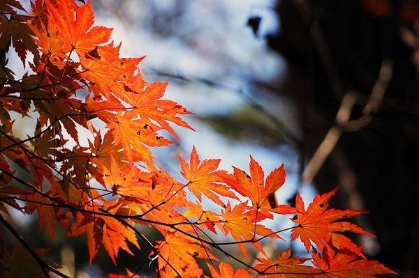 red-maple-leaf-507545_960_720-compressor