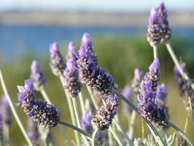 lavender-19235_1280
