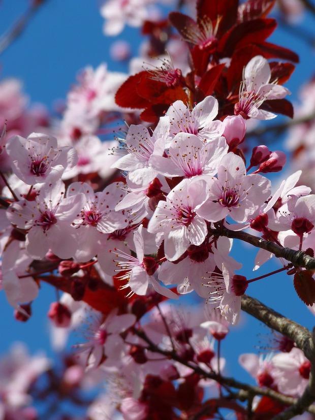 almond-blossom-5376_1280