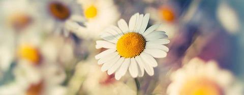 wallpaper-daisy-photo-tn