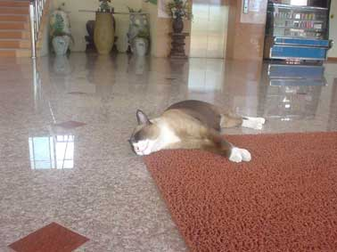 Navin Mansion IIの猫
