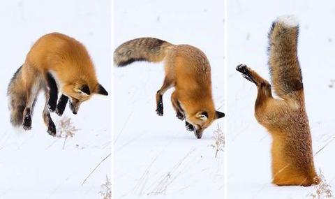 Fox-head-stuck-snow-551446