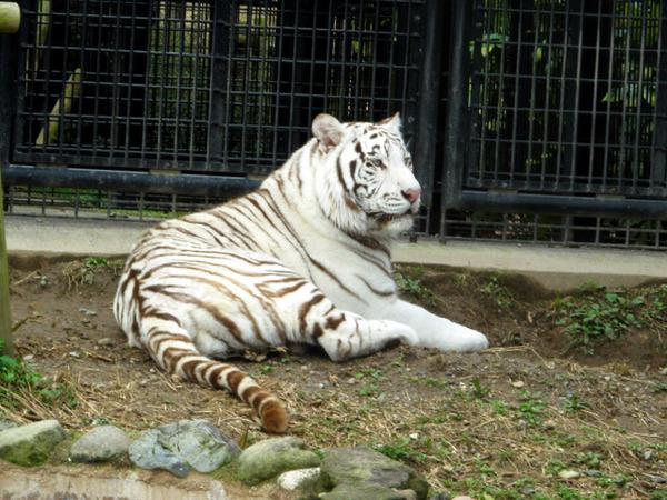 【平川動物公園】ホワイトタイガー「リク」処分せず 遺族「飼育して下さい」=事故当日はトラの絶食日