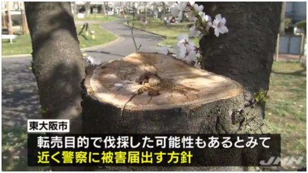 【東大阪】満開の桜無残 加納北公園で11本切断、3本は幹から=チェーンソーで切断か