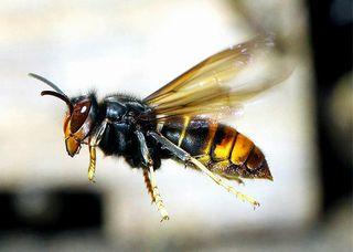 【ツマアカスズメバチ】韓国から対馬に侵入・定着…九州で拡大中=ニホンミツバチ壊滅危機か