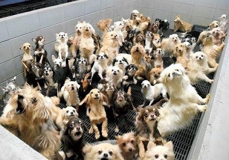 【福井】「子犬工場(パピーミル)」業者と飼育員、書類送検へ 動物虐待容疑などで=県「虐待とは言えない!?」
