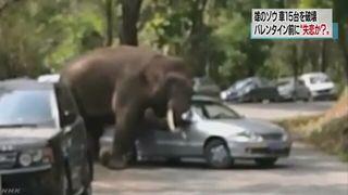 【中国雲南省】「失恋したゾウ」…八つ当たりで車15台を破壊…中国ネットは同情