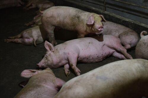 【新型豚インフルエンザ・G4】パンデミック懸念、中国「重大視しない」=研究者「人への適応進み流行広がる恐れ」