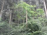三滝道中の二・なんか天然記念物なシダ類