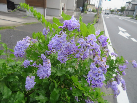 デュランタ・タカラヅカ5247