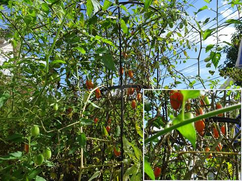 9月22日秋のミニトマト