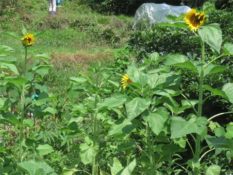 7月21日畑のヒマワリ2