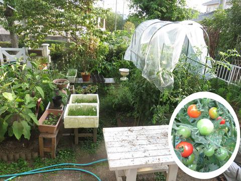 8月14日庭のトマト