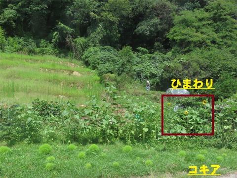 7月21日畑のヒマワリ1