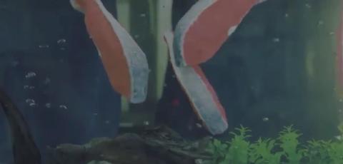 【社会実験】もしも、シャケの切り身が泳いでいたら?