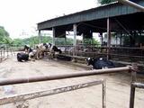 当然牛がいます
