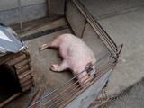 豚もいました