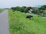 CRのすぐ脇で牛の放牧