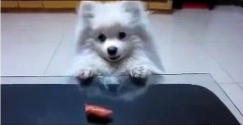 犬 白ポメ 届かない03