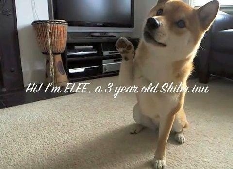 柴犬 エリーは多芸00