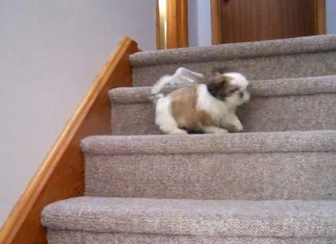 子犬 シー・ズーが階段をちょっとずつ降りる02