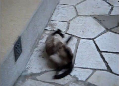 猫 rollで回転する05