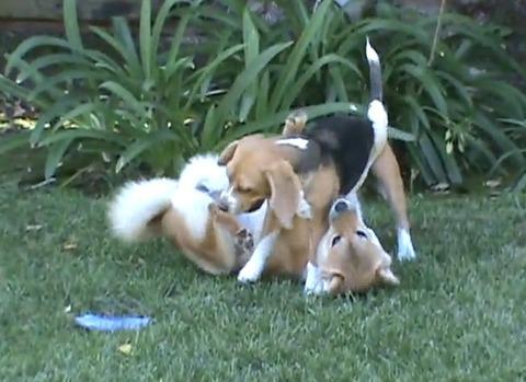 柴犬vs 01