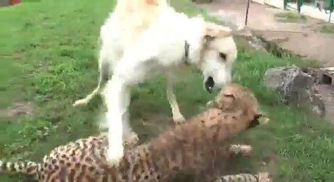 犬 ボルゾイとチーター仲良し01