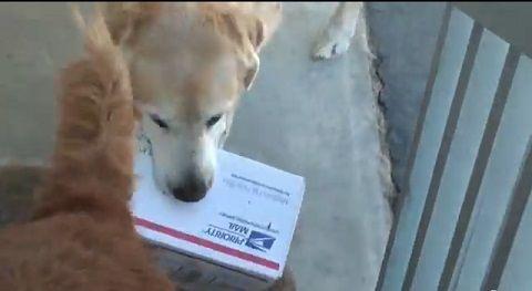 犬 郵便物は箱まで持ってくる06