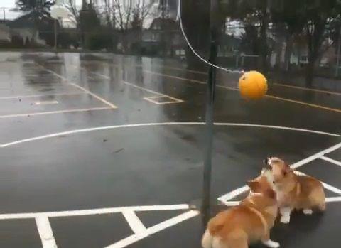 犬 つるしたボールで遊ぶコーギー00