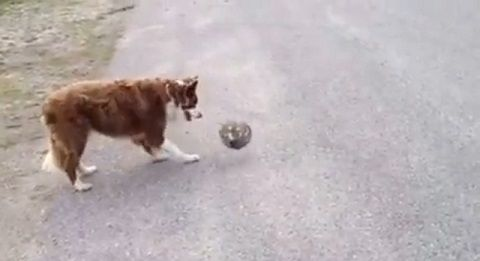 犬 ボールをパスして遊び続ける02