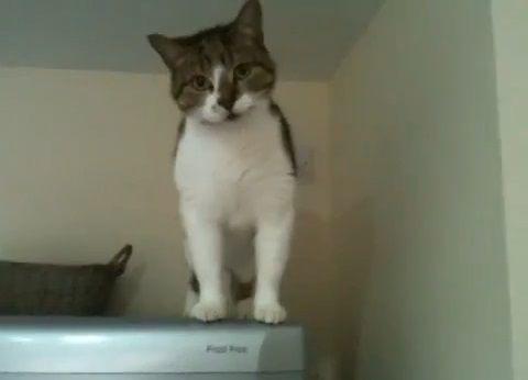 猫 冷蔵庫の間を垂直歩き00