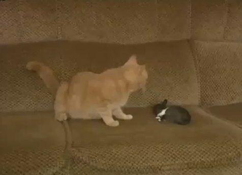 猫 ウサギを世話する00