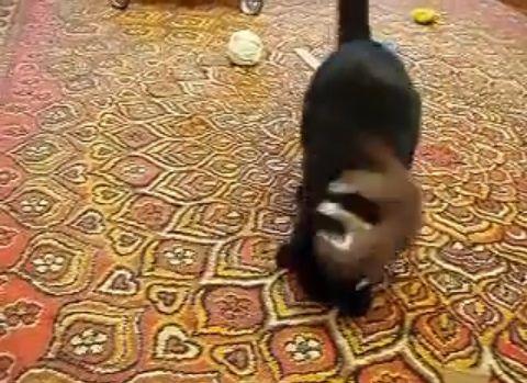 猫 vsオコジョ05