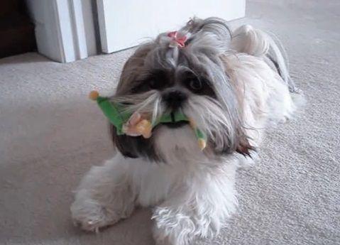犬 人形を咥えたシーズー05