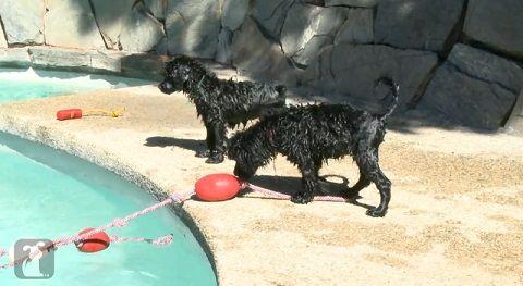 子犬 はじめての水泳05