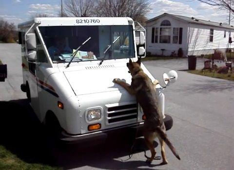 犬 ワイパーが気に入らないシェパード04