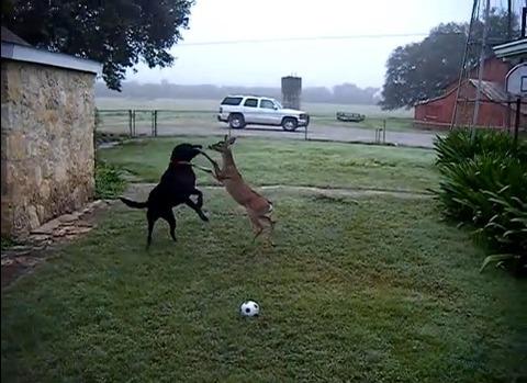 犬 鹿と遊ぶ04