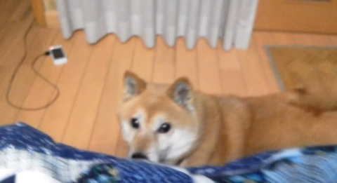 柴犬 ひょっこり00