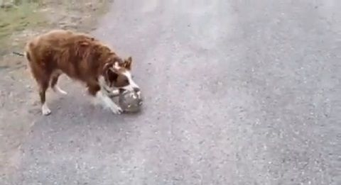 犬 ボールをパスして遊び続ける01