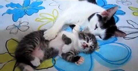 猫 子猫を舐めたり一緒に寝たり05