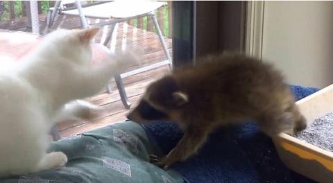 子猫 アライグマをぺしぺし06