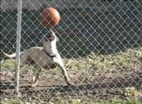 犬 ボールを頭に04