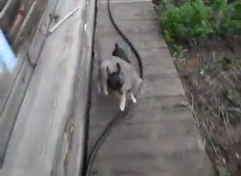 犬猫 犬が猫を背負って03