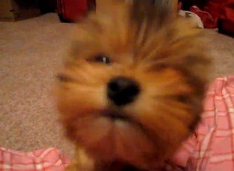 子犬 ヨーキーと遊ぶ09