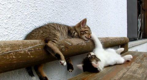 子猫 寝ている子猫に遊んで欲しい06