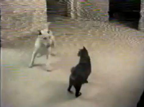 犬猫 グルグルと回って誘う犬00