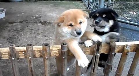 子犬 2匹の柴犬に懐かれる01