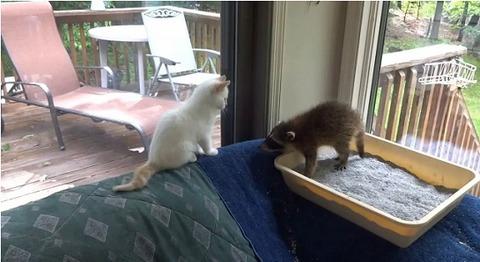 子猫 アライグマをぺしぺし00